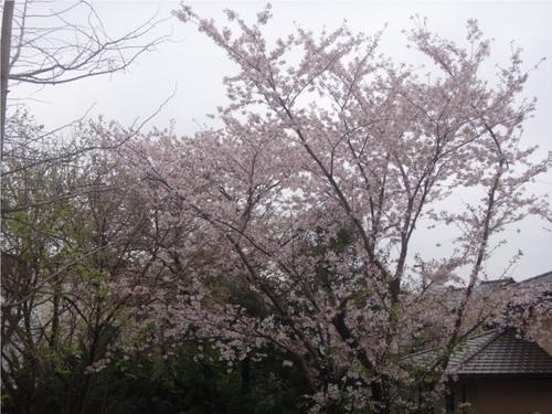 23_部屋前桜.JPG